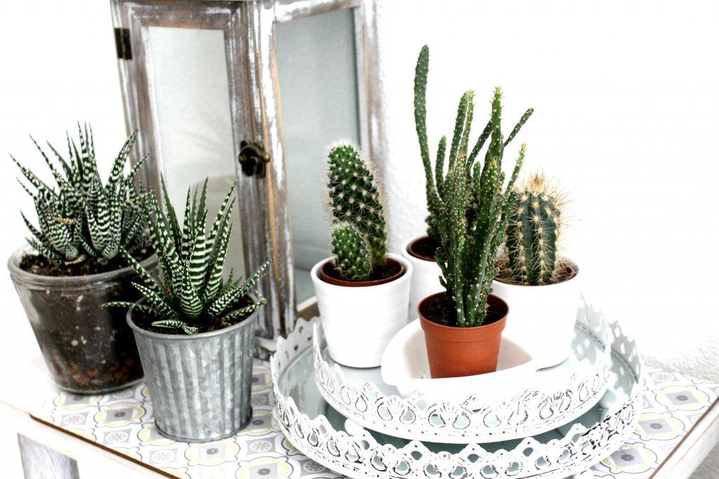 plantes grasses et succulentes