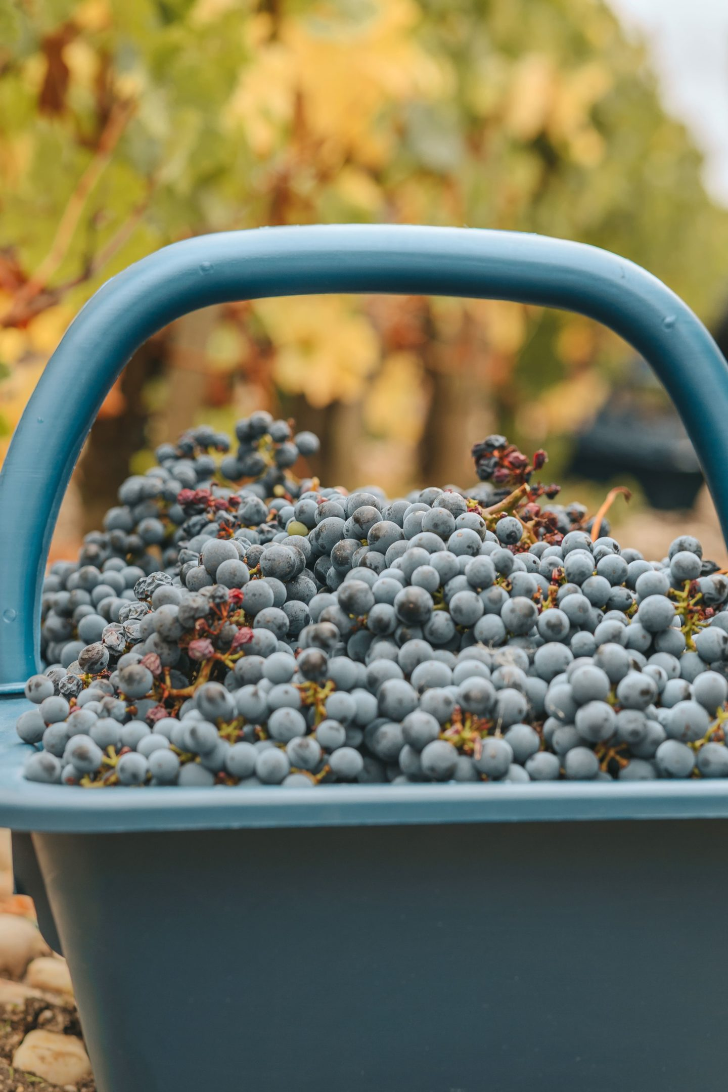 panier rempli de raisins, vendanges, médoc, Lagrange, 2019 octobre.