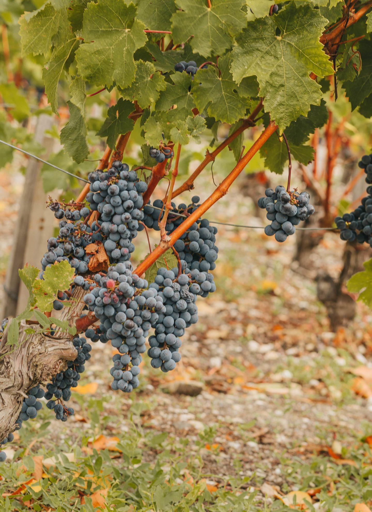 grappes de raisins, médoc, Lagrange.