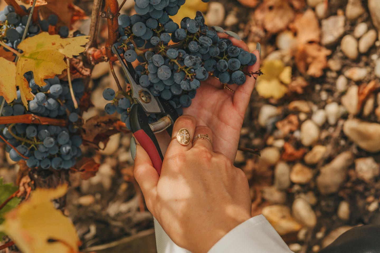 couper le raisin, sécateur, vendanges, octobre, médoc, saint-julien, Lagrange,