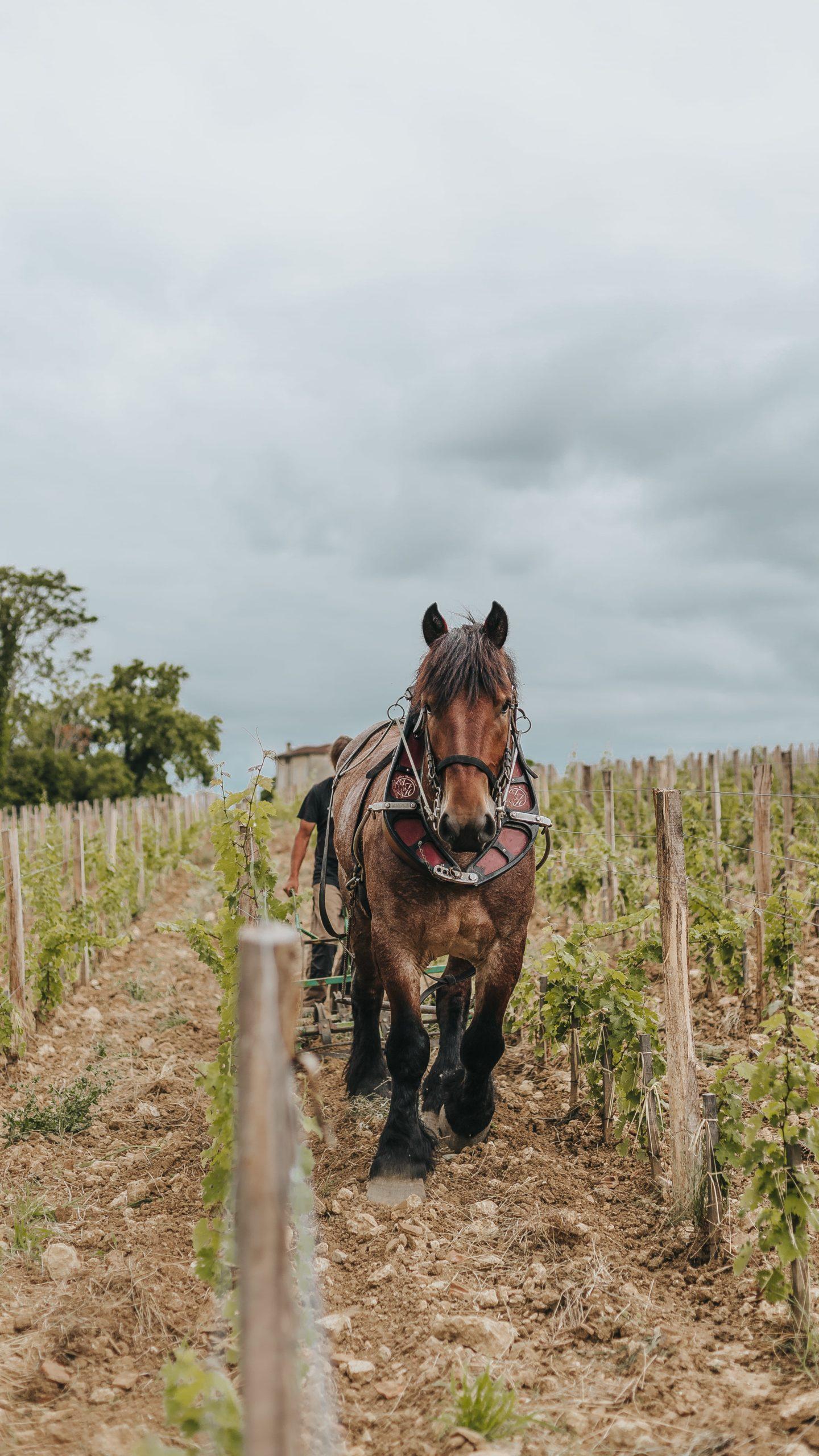 traction animale, agriculture raisonnée, valette, viticole, troplong mondot